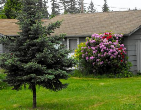 This little house has pretty Rhodies too!
