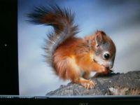 jonge eekhoorn