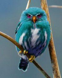 teal-owl