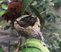 Hummingbird Hatchlings