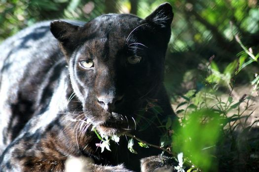 Shadow black leopard, Carolina Tiger Rescue, Pittsboro, NC