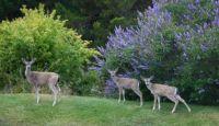 July Deer in San Leandro