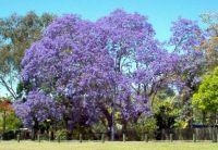 The beautiful Jacaranda tree