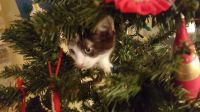 I spy, I spy with my little eye...a little kitty in my Christmas tree.
