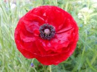 Full red poppy flower