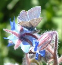 blue butterfly on Borage