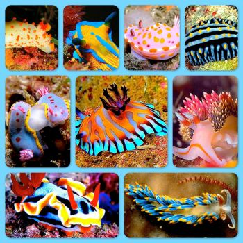 Nudibranchs  (smaller)