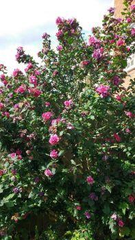 Flowery bush (UK)