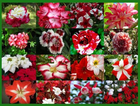 red and white flowers (small)