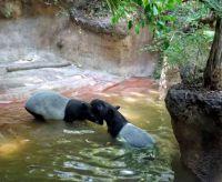 San Diego Zoo - Tapirs Swimming