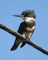 Belted Kingfisher, Grand Avenue Bridge, Del Mar, California