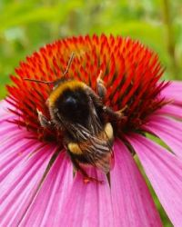 Bumblebee on Coneflower 2