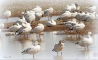 Snow Geese in migratory path in Arizona
