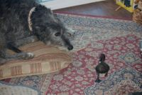 Maisey and the Baby Duck