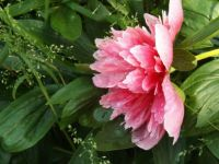 The last Peony rescued after rain.