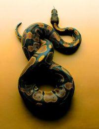 1  ~  Snake Skin Patterns.  (P/N)