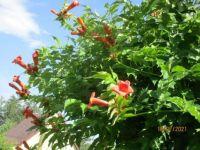 From Max's garden - Bignonia