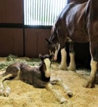 One-month-old Clydesdale Filly