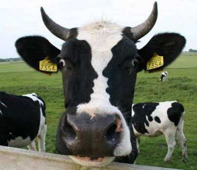 Crazy cow picture - look closely
