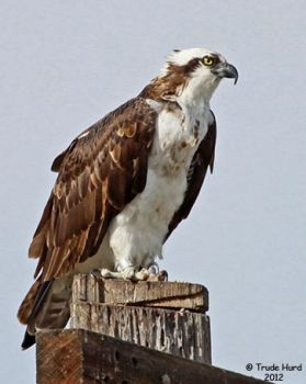 Osprey at the marsh
