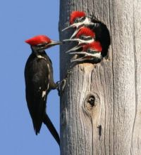 woodpecker with babies