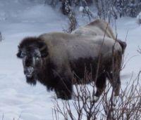buffalo in Alaska