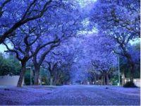 Jacaranda a sea of blue