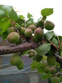Meruňky, snad dozrají   (Apricots, maybe they will mature)