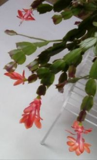 Confused Christmas cactus