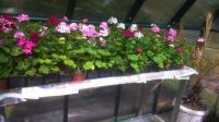 Geraniums in a greeenhouse 2