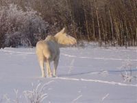 White moose in the snow