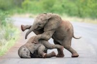 Baby eles at play by Inez Allin