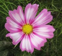 Cosmos or Cosmea close up