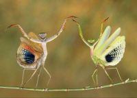 Dancing Mantis