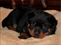 Rottie Pup-Bubba Zan-I WAS Sleeping!-(1)