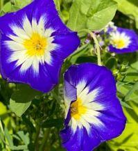 Blue petunia