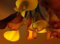 calla lilies upside down