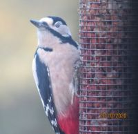 Sleepy Greater Spotted Woodpecker