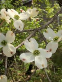 .Dog wood are blooming in  the Ozarks...