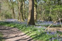 Bluebells in the local woods