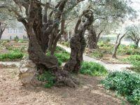 Holy Land - Mount of Olives
