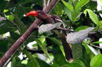 Red-billed Dwarf Hornbill by Adam Riley