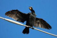 Double-crested Cormorant, Grand Avenue Bridge, Del Mar, California