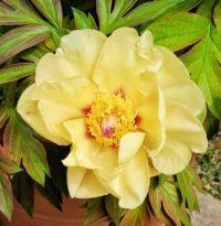 Single Itoh Peony Blossom