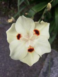 Dieters Bicolor, or African Iris