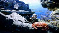Crab - Krabbe