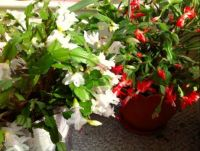White and Red Christmas Cactus