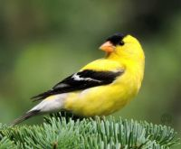More Birds: Goldfinch Male