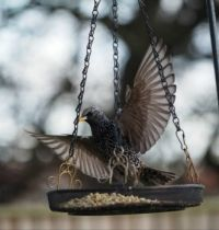 Starling on the Feeder