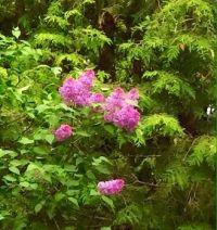Lilacs and Cedar, wonderful springtime smells.